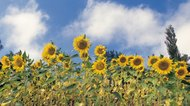 The Difference in High-Oleic & Mid-Oleic Sunflower Oil