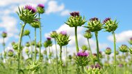 Field with Silybum marianum