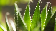 How to Use Aloe Vera to Treat Eczema