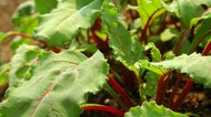 How to Eat Beet Greens