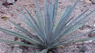 How to Substitute Blue Agave for Sugar