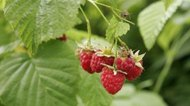 Red Raspberry Leaf Tea Benefits