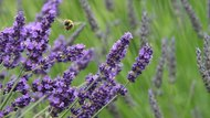 How to Dilute Your Lavender Essential Oil