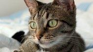 Cat Saliva & Contact Dermatitis