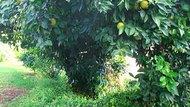 How to Sweeten Sour Oranges
