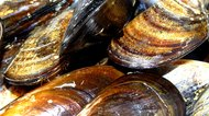 How to Eat Freshwater Mussels
