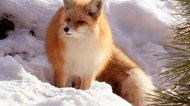 How to Stop Fox Fur From Shedding