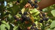 How to Dry Blackberry Leaves for Tea