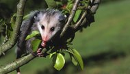 How to Make Your Own Opossum Costume