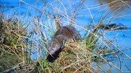 Mink in wetlands