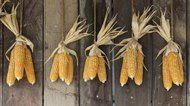 How to Dry Corn