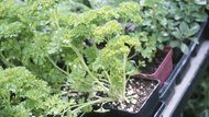 Dill and parsley plants