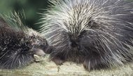 Porcupine Quill Uses