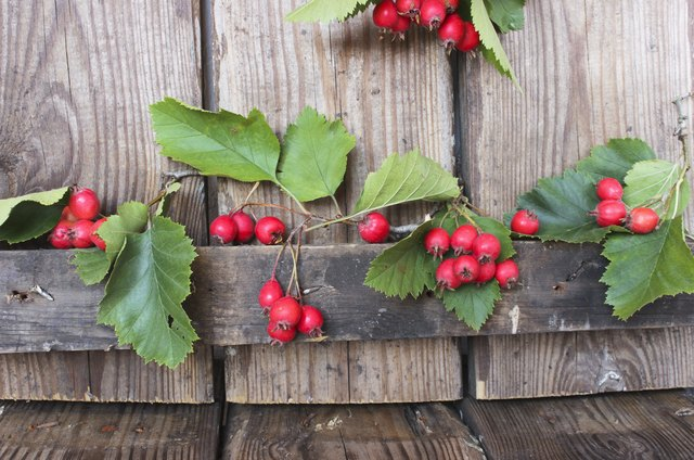 Hawthorn berries on wooden rustic background