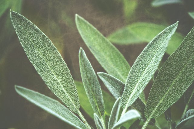 Close-Up Of Sage Plant