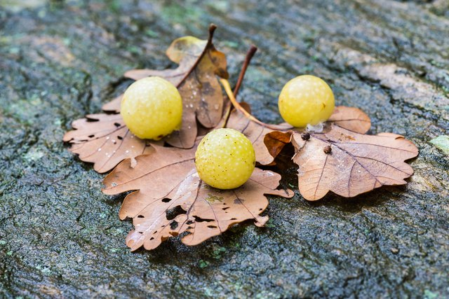 Image result for oak gall