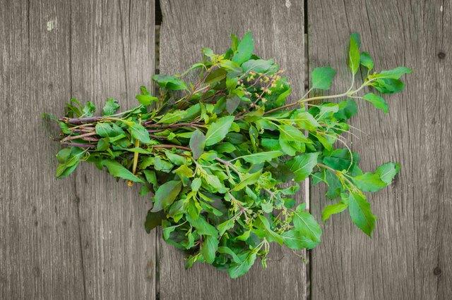 Tulsi leaf herb