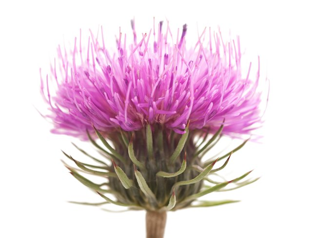 Closeup of one blooming milk thistle