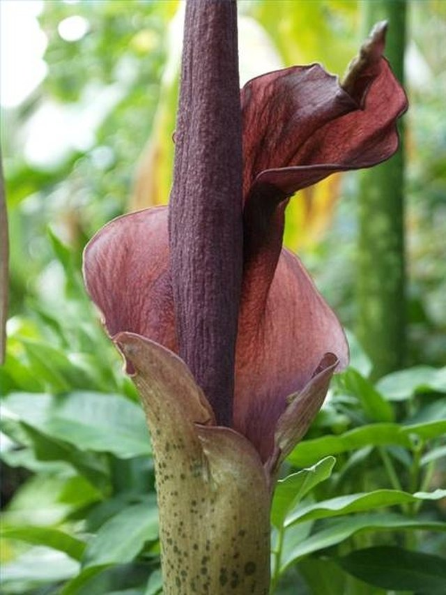 what is amorphophallus konjac leaftv