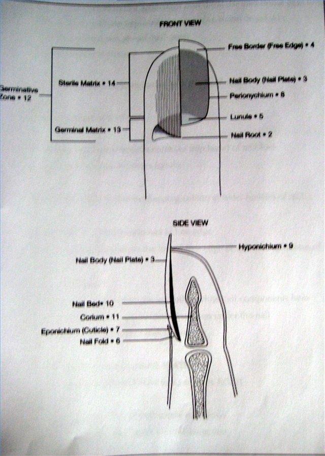 Luxury Fingernail Diagram Embellishment - Human Anatomy Images ...