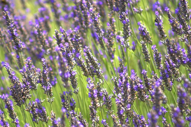 the meaning of lavender flowers  leaftv, Natural flower