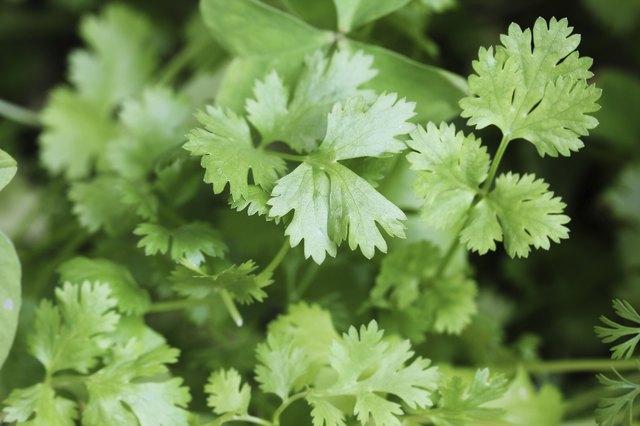 Fresh organically grown cilantro or coriander(coriandrum sativum) leaves