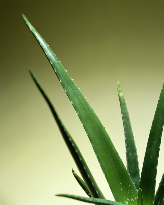 Aloe vera (Aloe sp.) leaves, close-up