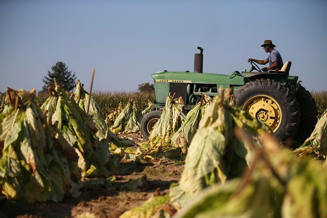 Maryland Tobacco Harvest After Severe Summer Drought