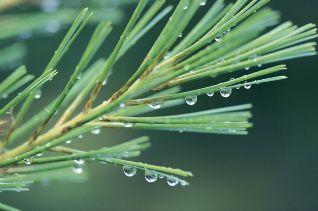 Drops of water on pine branch