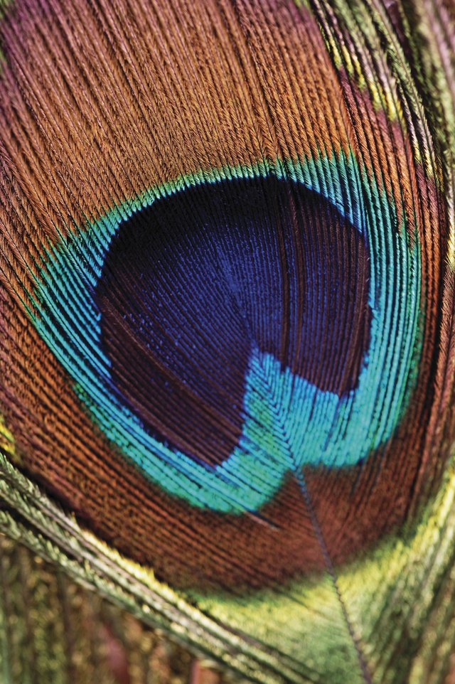 Close-up of a peacock feather