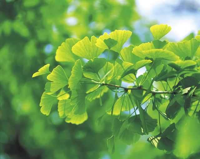 Leaves on ginkgo tree