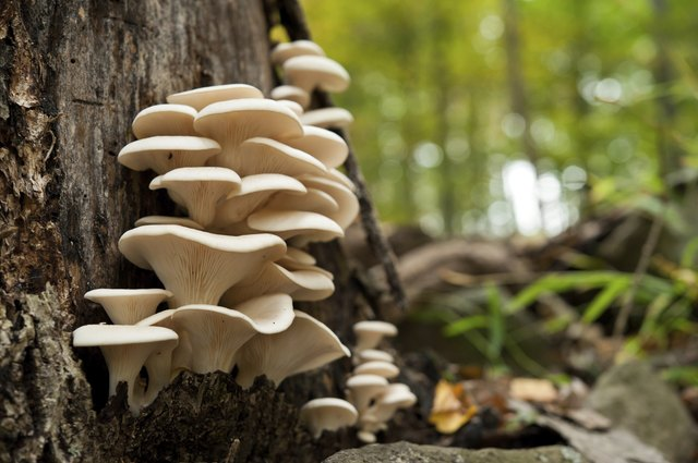fresh oyster mushrooms on a dead tree