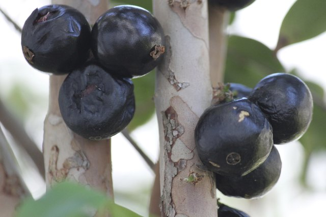 Jabuticaba fruit on tree bark