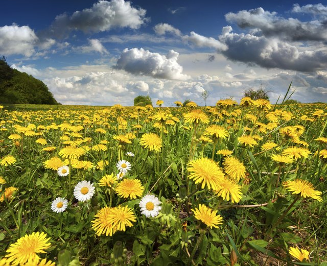 Flowering dandelions and camomiles in the summer
