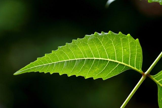 Neem leaf-Azadirachta indica