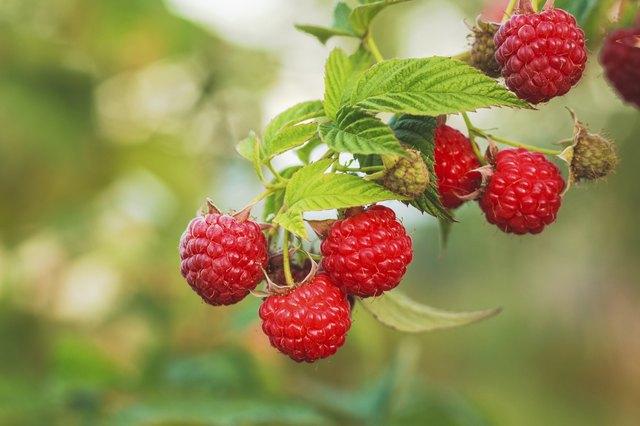 Raspberry. Raspberries. Growing Organic Berries closeup