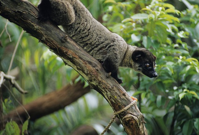 Small-toothed palm civet (Arctogalidia trivirgata) standing on curved branch, ,Asia