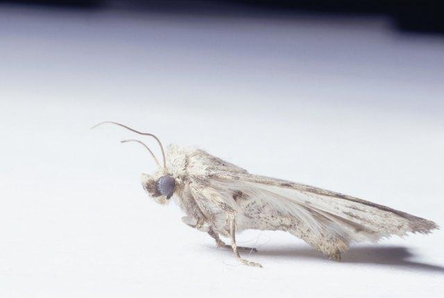 Moth, close-up