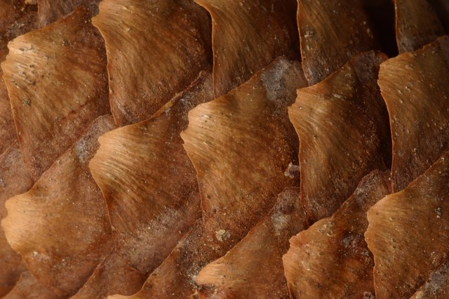 Closeup of pine cone